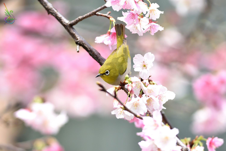 Sakura_White-eye_9943