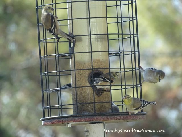 Goldfinches March 2017 - 3