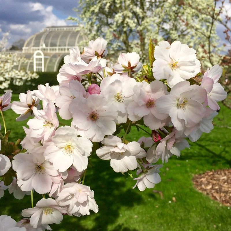 Image result for kew gardens cherry blossom