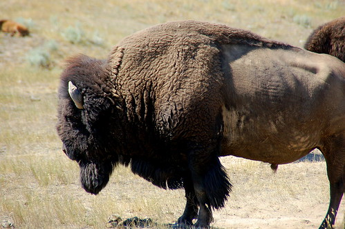 Bison | by kewing