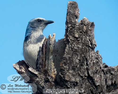 Scrub Jay | by Leo Wehrstedt