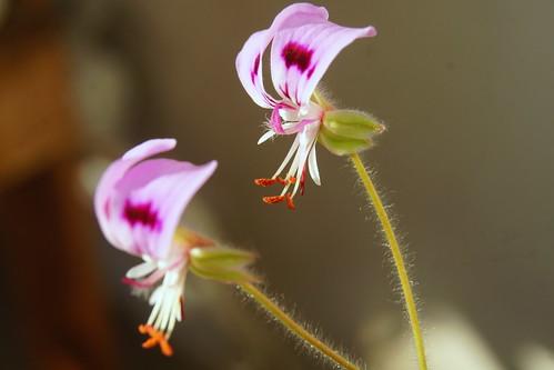 Pelargonium ovale subsp. veronicifolium