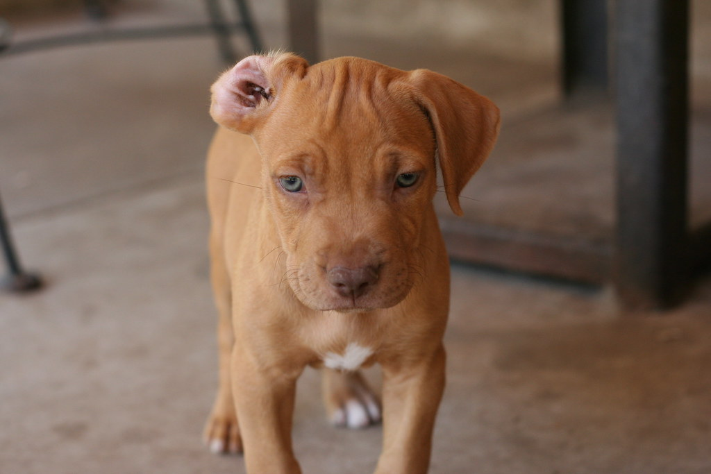 brown red nose pitbull puppies wwwpixsharkcom images