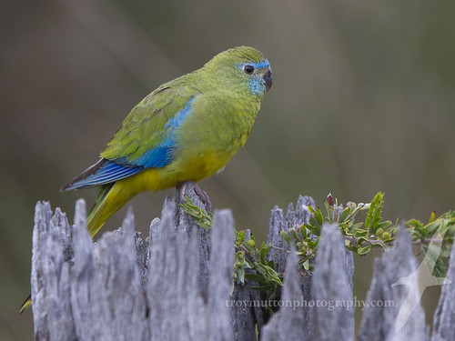 Turquoise Parrot | by Mister Troy