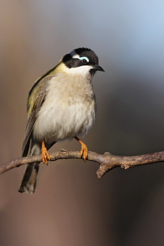 Black-chinned Honeyeater. D I jpg