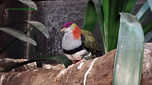 Superb Fruit Dove, Burgers Zoo, Netherlands - 0595 | by HereIsTom