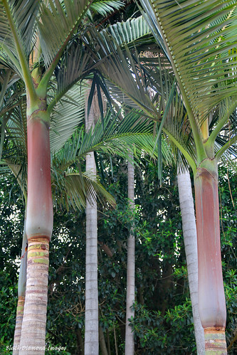 Archontophoenix purpurea - Mount Lewis King Palm, Purple A ...