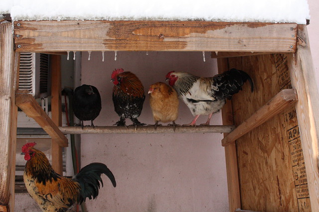 The Chicken Apartment