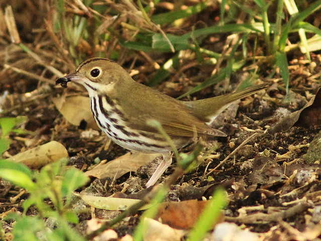 Ovenbird eating Ligustrum berry 2-20130922