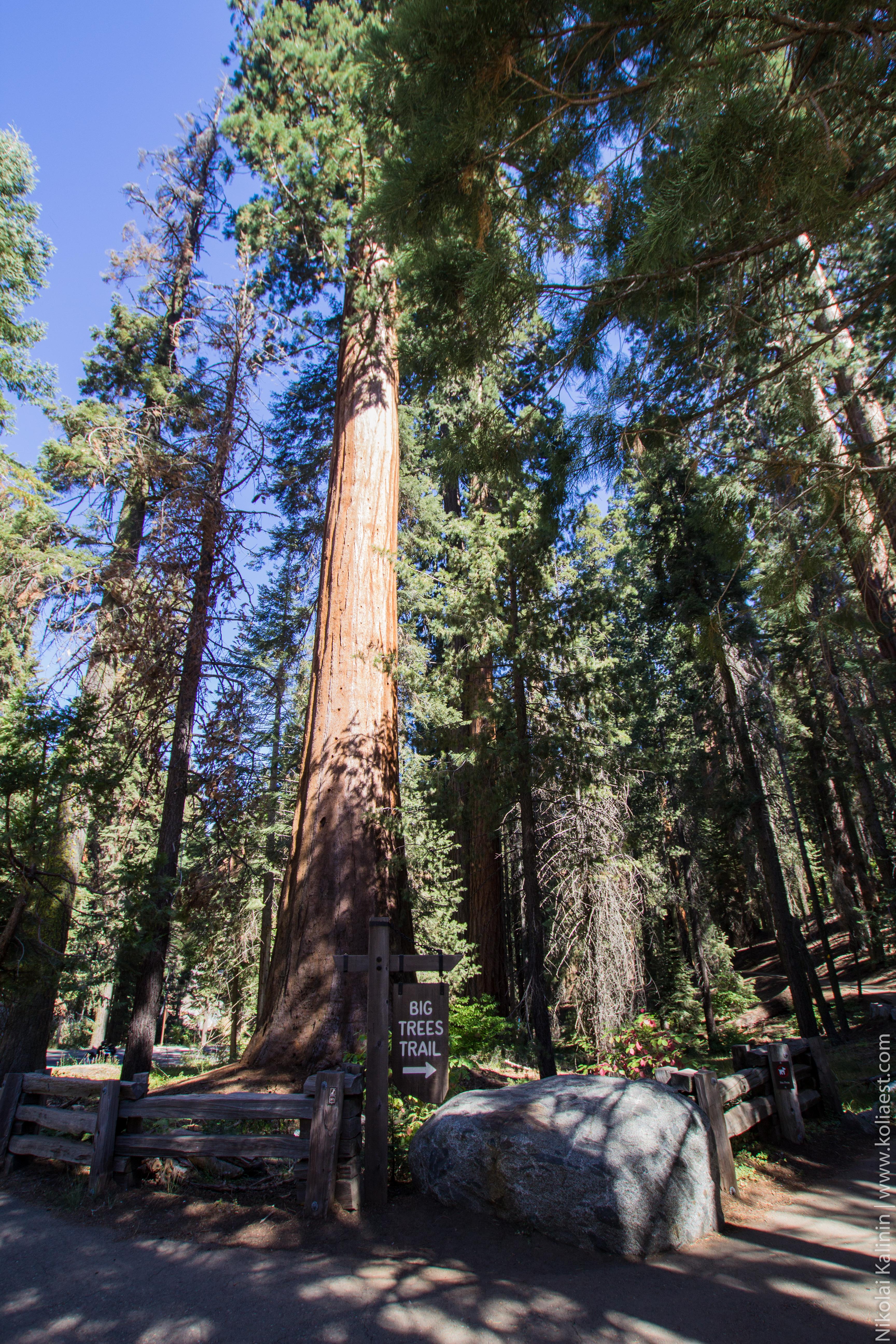 Sequoia-75