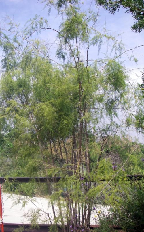 Asparagus scoparius 33542332196_e42b0e9173_o