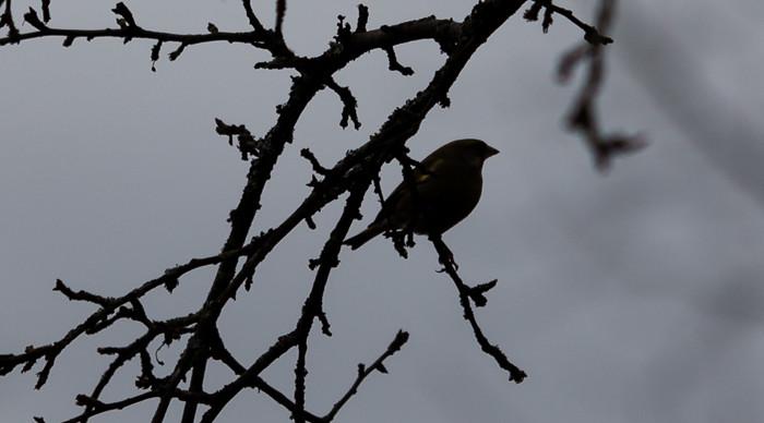 siluetti musta lintu oksalla luontokuva