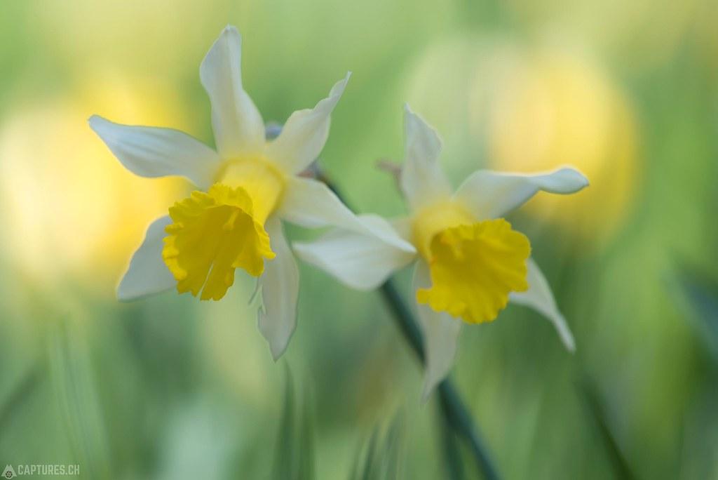 Daffodil - Vaud