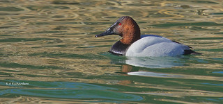 Canvasback drake (portrait) | by keithricflick
