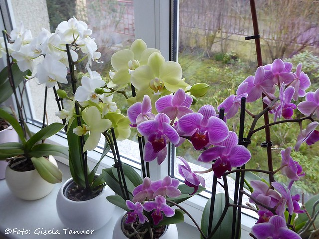 Orchideen im Haus
