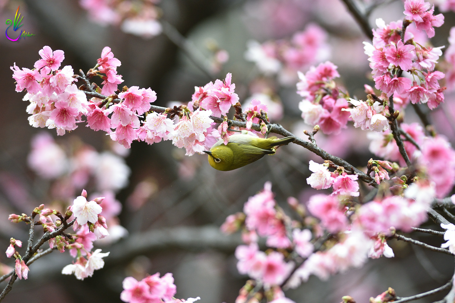 Sakura_White-eye_0305
