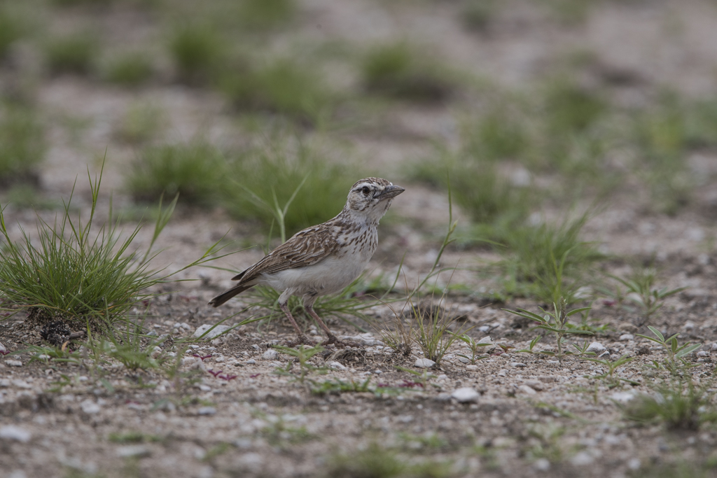 Large-billed Lark   Calandra Cinerea