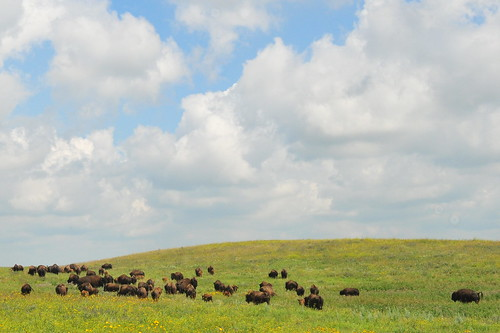 Bison on Ordway Prairie The Nature Conservancy Sand Lake WMD | by USFWS Mountain Prairie