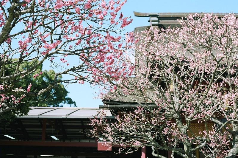 大宰府天満宮の拝殿と梅の花