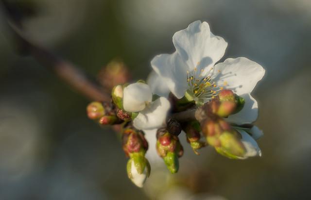 flor cerezos 33556969775_de090e56f4_z