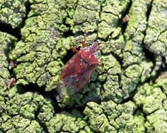 Birch Katkin Bug - Kleidocerys resedae