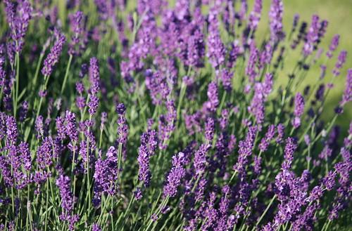 echter lavendel lavandula angustifolia juli 2013 canon. Black Bedroom Furniture Sets. Home Design Ideas