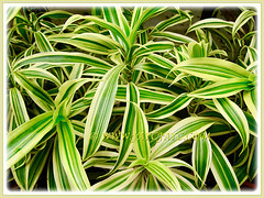 Beautiful variegated leaves of Dracaena reflexa 'Song of India' (Pleomele, Dracaena reflexa variegata, 'Song-of-India', Reflexed Dracaena), 6 Nov 2011