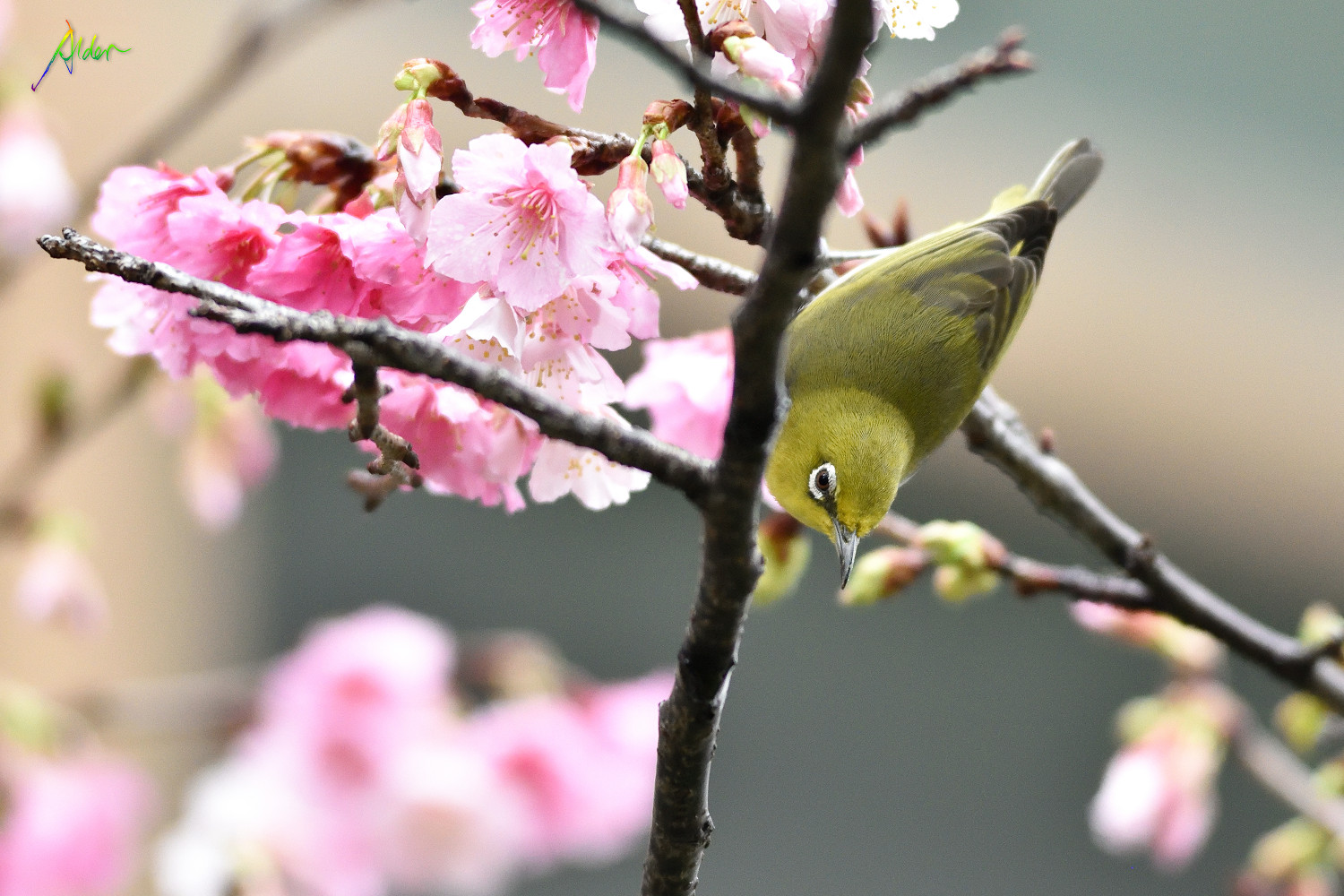 Sakura_White-eye_7732