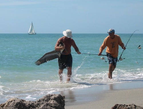Rescue of pelican