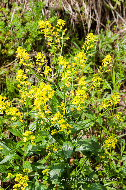 Common Wintercress (Yellow Rocket) (Barbarea vulgaris)
