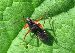 Fine Streaked Bugkin - Miris striatus (nymph)
