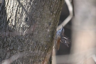 Brown Creeper | by Birding In New Jersey