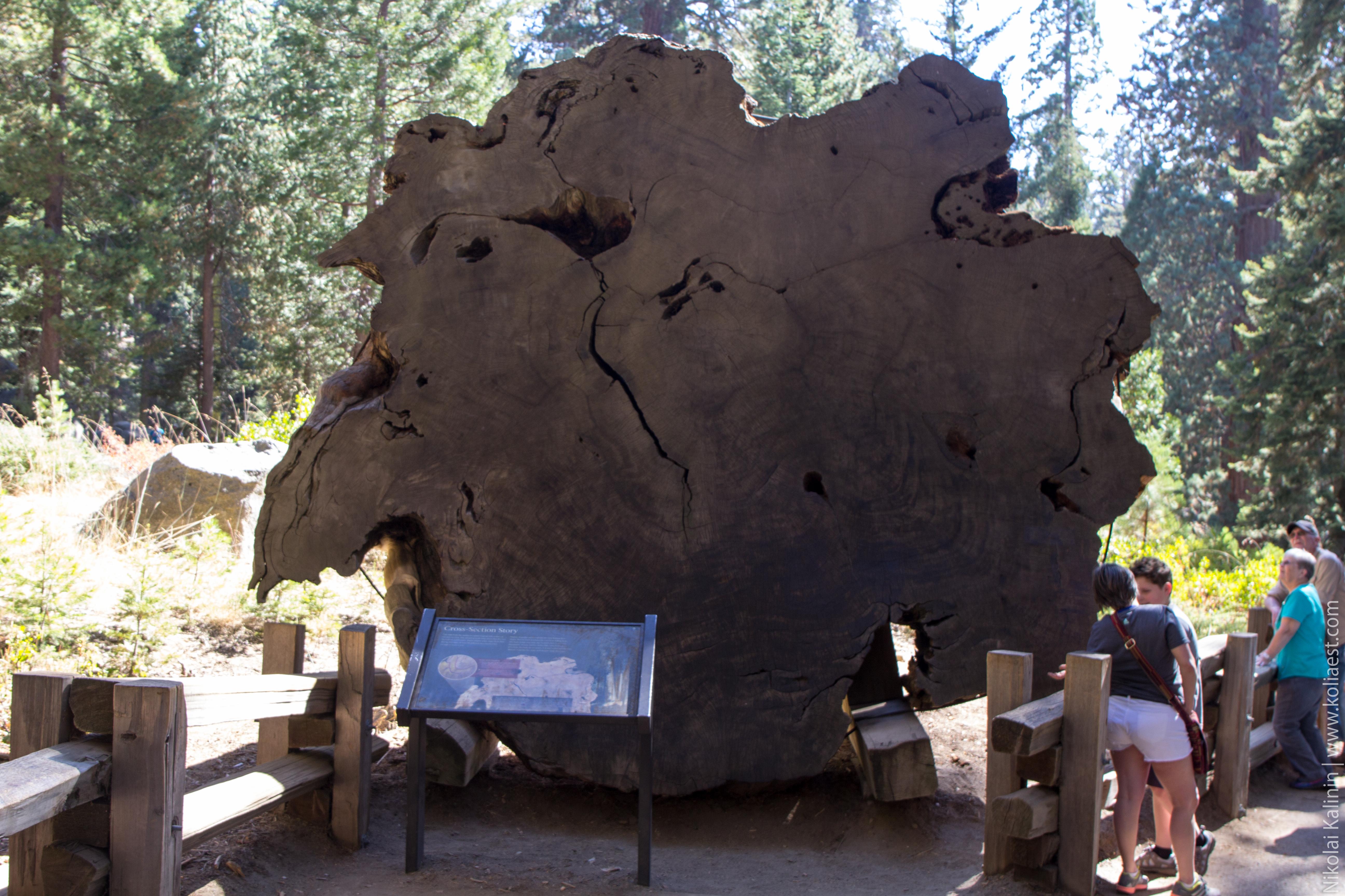 Sequoia-37