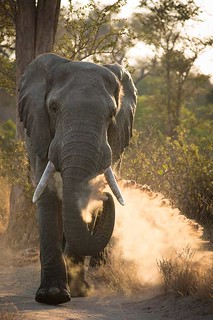 2.Elephant - Don Ashabranner | by MalaMala Game Reserve