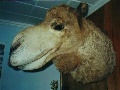 Camel Taxidermy