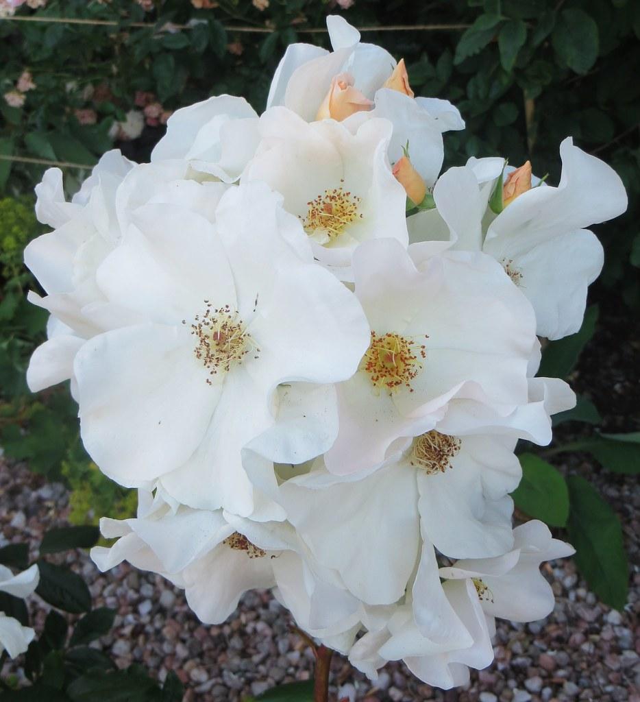 roses anciennes en bouquet, dollar, hillfoots, clackmannan… | flickr