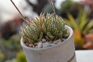 DSC_5544 Haworthia herbacea  ハオルチア ヘルバセア