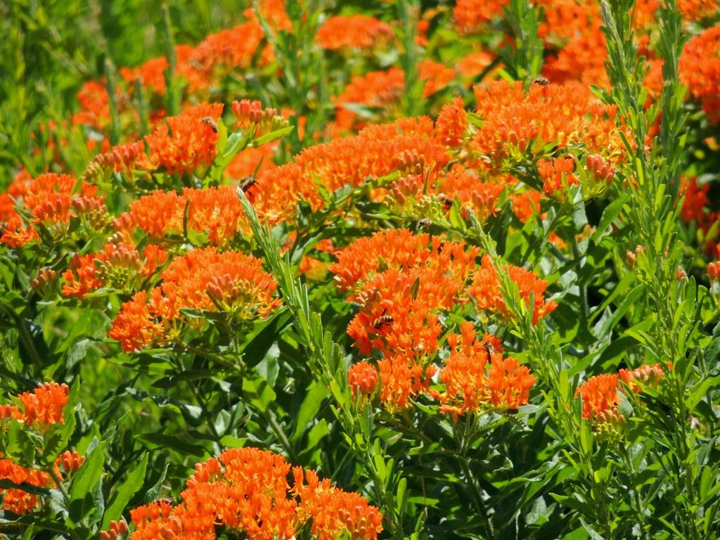 ... Orange Wildflowers of Arkansas   by maorlando - God keeps me as I lean  on Him