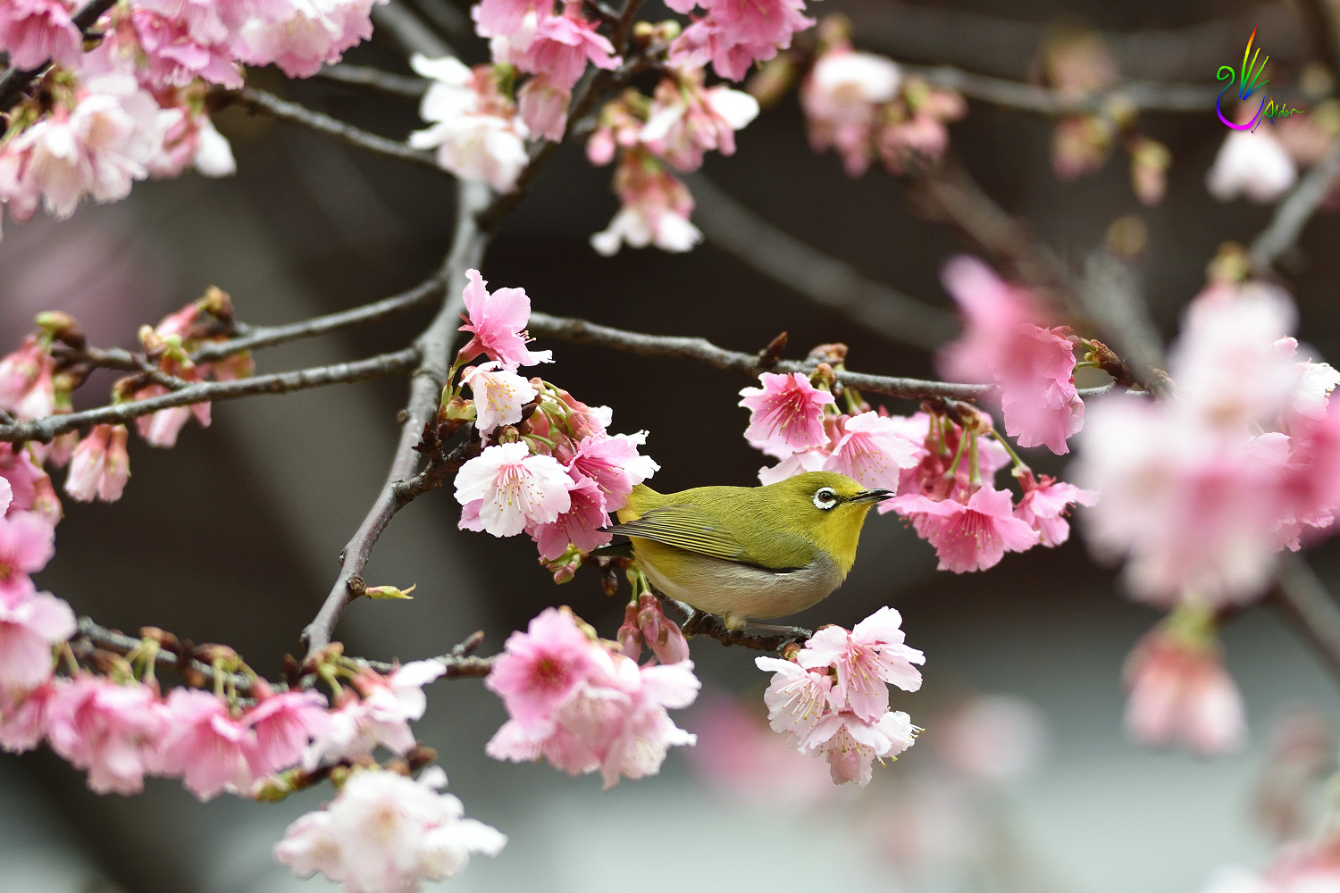 Sakura_White-eye_0466