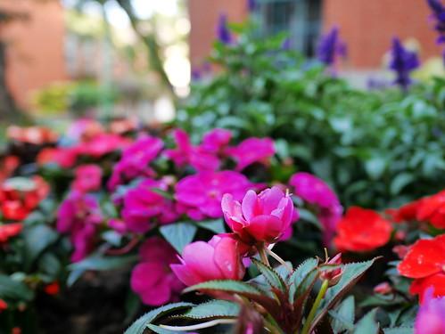 ピンクの花とラベンダー
