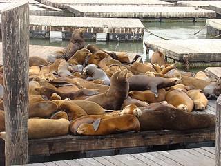 006 Zeeleeuwen bij Pier 39