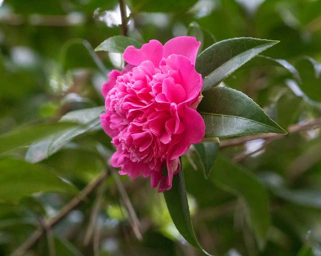 Camellia, Compton Acres