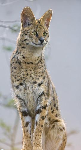 jaguar standing - photo #29