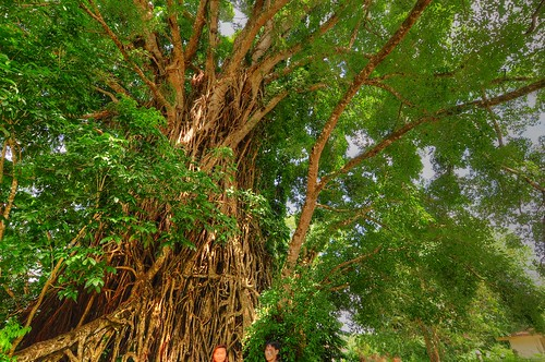 Millenium Tree 100 year old Balete @ Balete Park, Aurora | by chad_d_stud