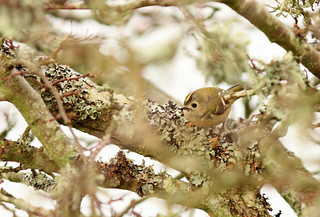 Goldcrest (Explored 240214) | by Steviethewaspwhisperer