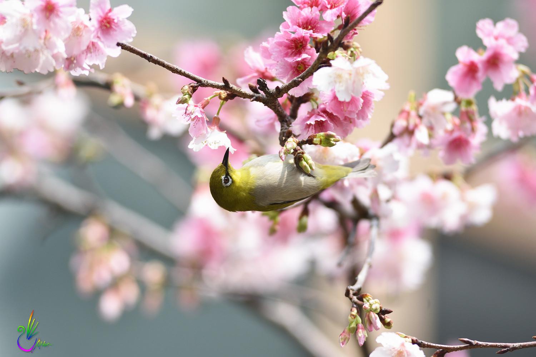 Sakura_White-eye_9449