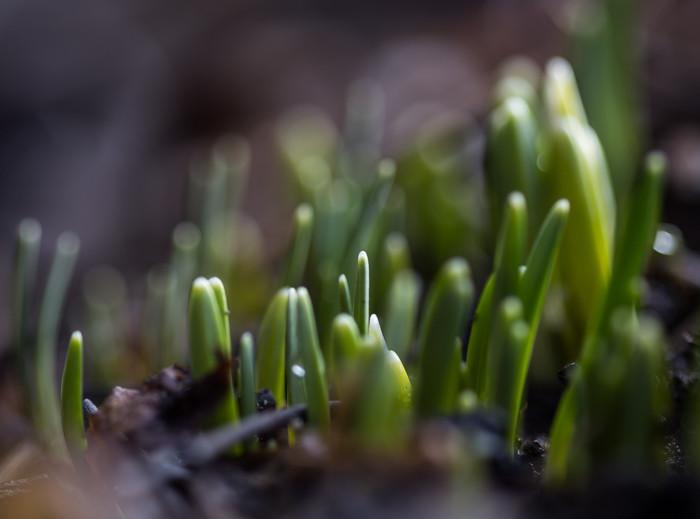 lumikello kevään ensimmäiset kukat