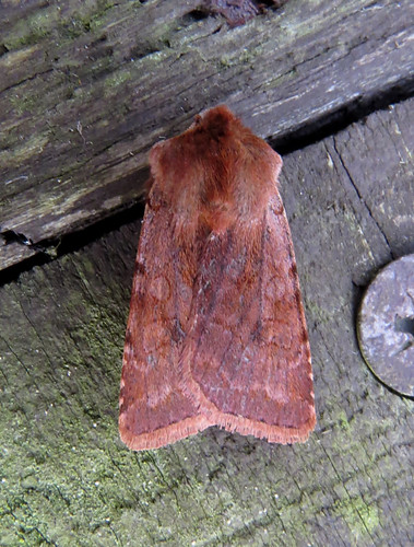 Red Chestnut Cerastis rubricosa Tophill Low NR, East Yorkshire March 2017