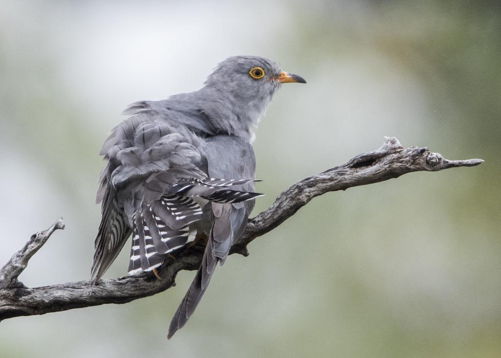 African Cuckoo Cuclus Gularis