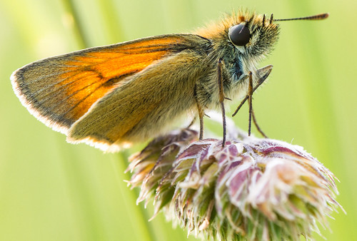 Skipper Butterfly | by Ellieslion